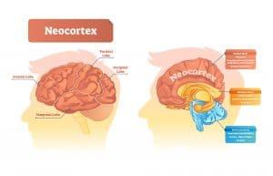 The Brain Neocortex